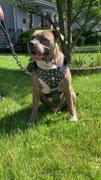 Pit Bull Gear Leather Dog Harness Review
