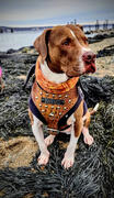 Pit Bull Gear NH4 - Name Plate Leather Dog Harness Review