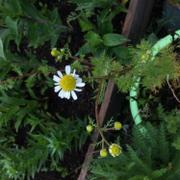 Pinetree Garden Seeds Roman Chamomile Review
