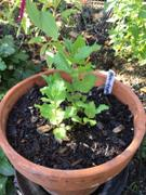 Mudbrick Herb Cottage Mint - Egyptian Mint Review