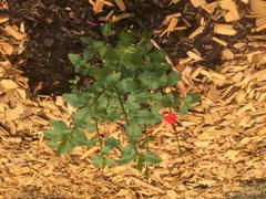 Mudbrick Herb Cottage Salvia microphylla 'Hot Lips' Review
