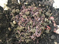 Uncle Jim's Worm Farm 10,000 Red Composting Worm Mix Review
