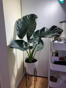 VandulaFarms Alocasia Regal Shield Review