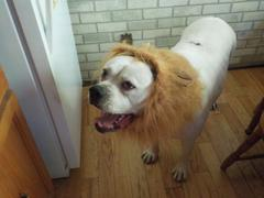 Doggykingdom Lion Mane Costume by Doggykingdom® Review