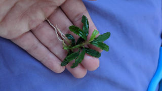 Your Fish Stuff Bucephalandra biblis 'Skyblue' Review
