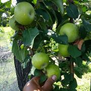 Fast-Growing-Trees.com North Pole Columnar Apple Tree Review