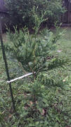 Fast-Growing-Trees.com Thuja Green Giant Review