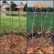 Fast-Growing-Trees.com Pink Velour Crape Myrtle Review