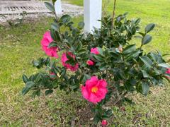 Fast-Growing-Trees.com Yuletide Camellia Review