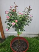 Fast-Growing-Trees.com Pink Knock Out® Rose Tree Review