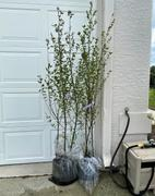 Fast-Growing-Trees.com Dura Heat® River Birch Review