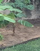 Fast-Growing-Trees.com Puerto Rican Plantain Banana Tree Review