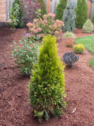 Fast-Growing-Trees.com Forever Goldie Arborvitae Tree Review