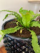 Fast-Growing-Trees.com Bird's Nest Fern Review