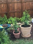 Fast-Growing-Trees.com Star Jasmine Review