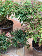 Fast-Growing-Trees.com Blush Pink™ Nandina Shrub Review