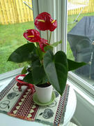 Fast-Growing-Trees.com Red Anthurium Plant Review