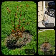 Fast-Growing-Trees.com Colorama™ Scarlet Crape Myrtle Tree Review