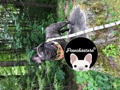 Frenchiestore Frenchiestore Luxury Leash | Livin' La Vida Frenchie Review