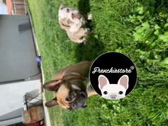 Frenchiestore Frenchiestore Breakaway Dog Collar | Frenchie Love in Pink Review