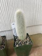 Planet Desert Cleistocactus straussii silver torch Review