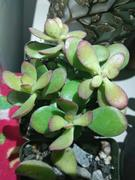 Planet Desert Crassula ovata jade dollar tree money plant Review