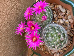 Planet Desert Mammillaria guelzowiana Review