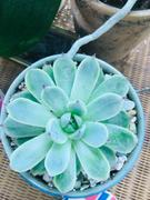Planet Desert Echeveria Colorata Review