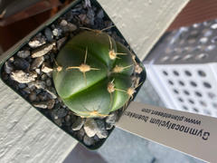 Planet Desert Gymnocalycium buenekeri Review