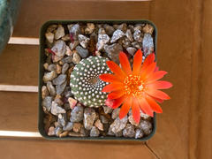 Planet Desert Rebutia krainziana Review
