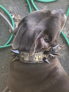 Pit Bull Gear WN14 - 2 Name Plate Dragon Spiked Leather Dog Collar Review