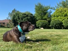Pit Bull Gear C1 - 1.5 Wide Leather Collar Review