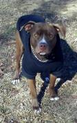 Pit Bull Gear PIT BULL GEAR - ZIPPER DOG HOODIE Review