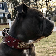 Pit Bull Gear NJ5 - 2 1/2 Name Plate Spiked Collar Review