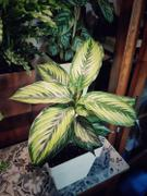 Groen in Huis | Stephanie Keijzer Calathea Beauty Star Review