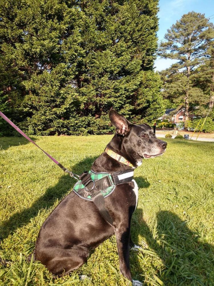 Dog Seat Belt Harness  U2013 Joyride Harness