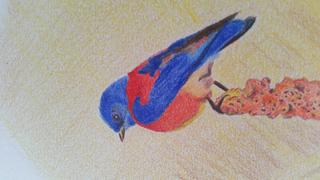 Ann Kullberg Jumpstart Level 1: Bluebird in Colored Pencil Review