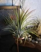 Queen Airplants Tillandsia Ionantha Review