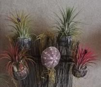 Queen Airplants Tillandsia Pruinosa Review