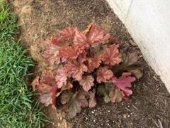 Proven Winners Direct Primo® 'Peachberry Ice' Coral Bells (Heuchera) Review