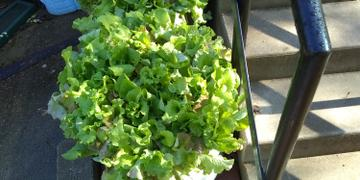 Pinetree Garden Seeds Pinetree Lettuce Mix (Begin harvesting in 40 Days) Review