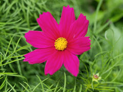Pinetree Garden Seeds Sonata Dwarf Mix Cosmos Review