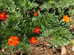 Pinetree Garden Seeds Safari Red Marigold Review