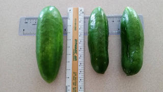 Pinetree Garden Seeds Muncher Cucumber (60 Days) Review