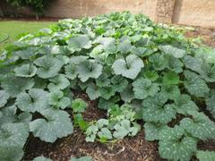 Pinetree Garden Seeds Tetsukabuto Winter Squash (F1 Hybrid, 90 Days) Review