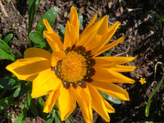 Pinetree Garden Seeds New Day Mix Gazania Review