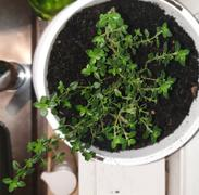 Mudbrick Herb Cottage Thyme - Lemon Thyme Review