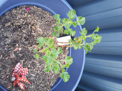 Mudbrick Herb Cottage Scented Geranium Lime Review
