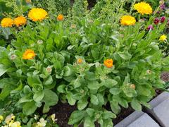 Mudbrick Herb Cottage Calendula Review