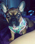 Frenchiestore French Bulldog Harness | Versatile Health Harness | UniPup Review